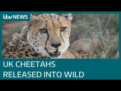 Cheetahs raised in the UK released into South African wild